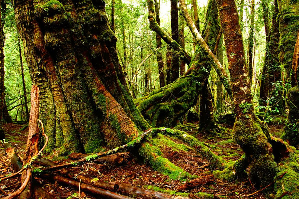 Gorgeous green moss and trees in the forest near Cradle Mountain and Lake St. Clair - Tasmania, Australia