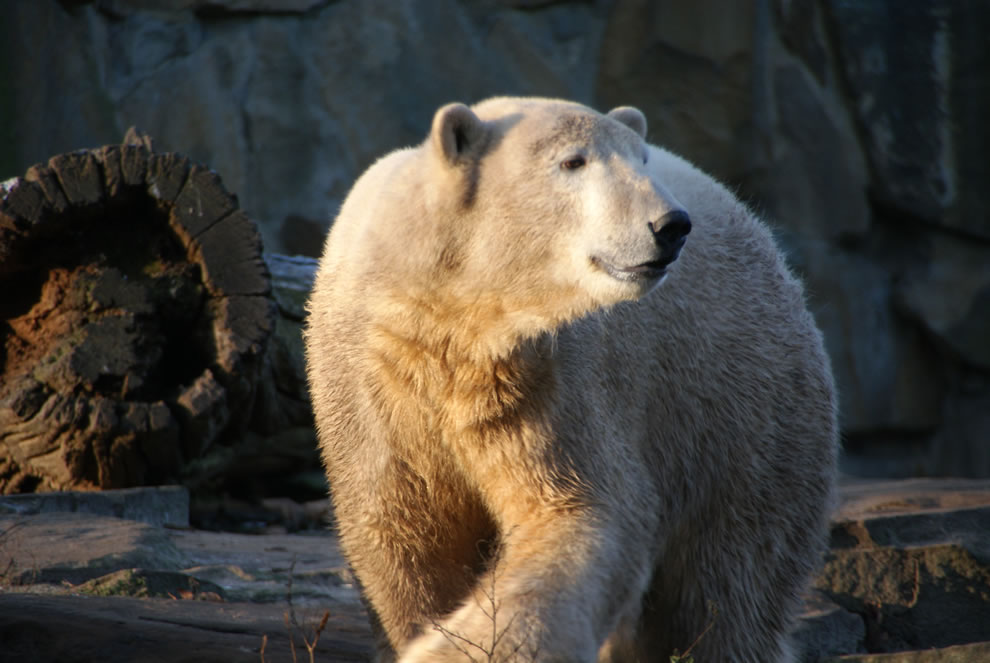 2 years old Knut Polar Bear