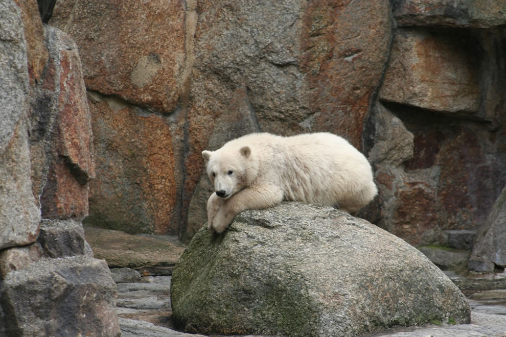 2007 Knut at Berlin Zoo