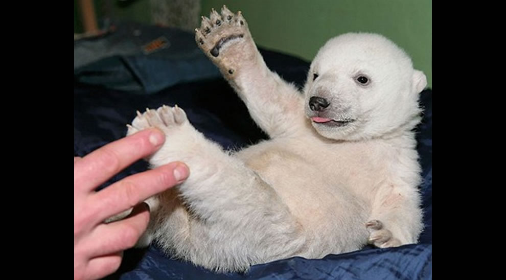 Berlin zoo employee Thomas Doerflein plays with polar bear cub Knut