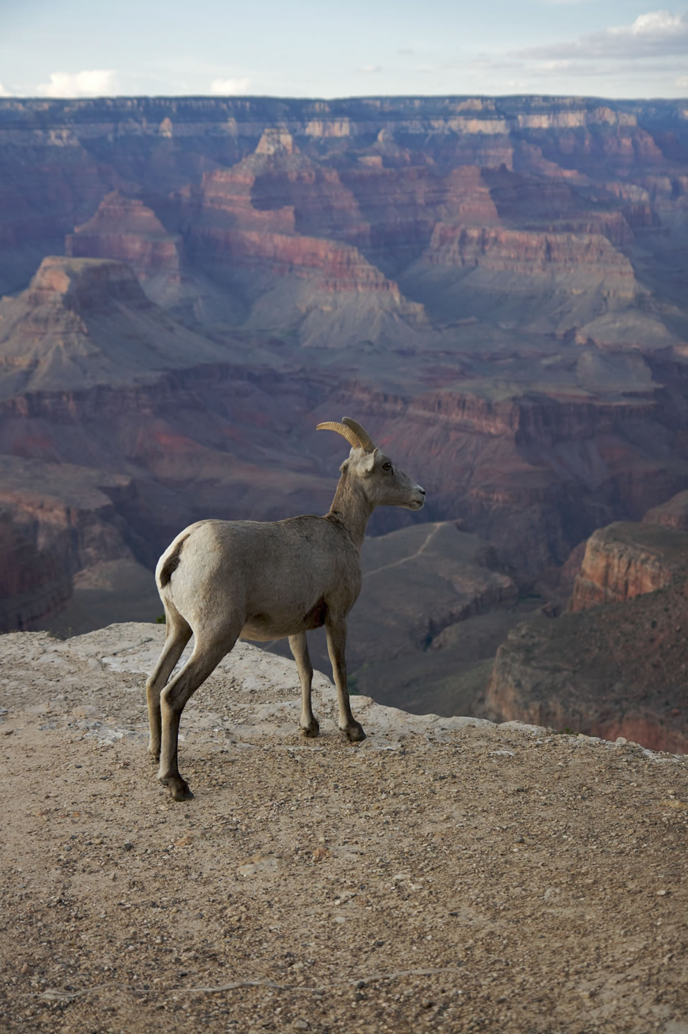Mountain goat - Bighorn, Grand Canyon