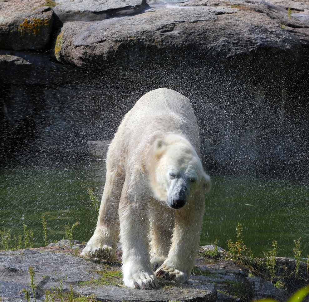 Polar Bear Knut Shaking 2010
