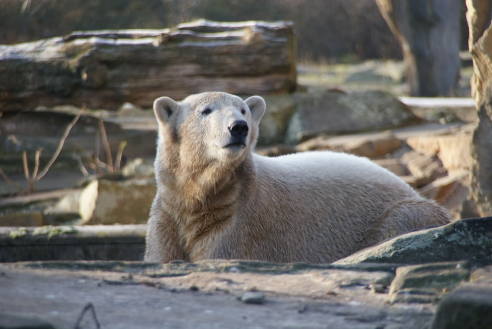Polar Bear Knut at age 2