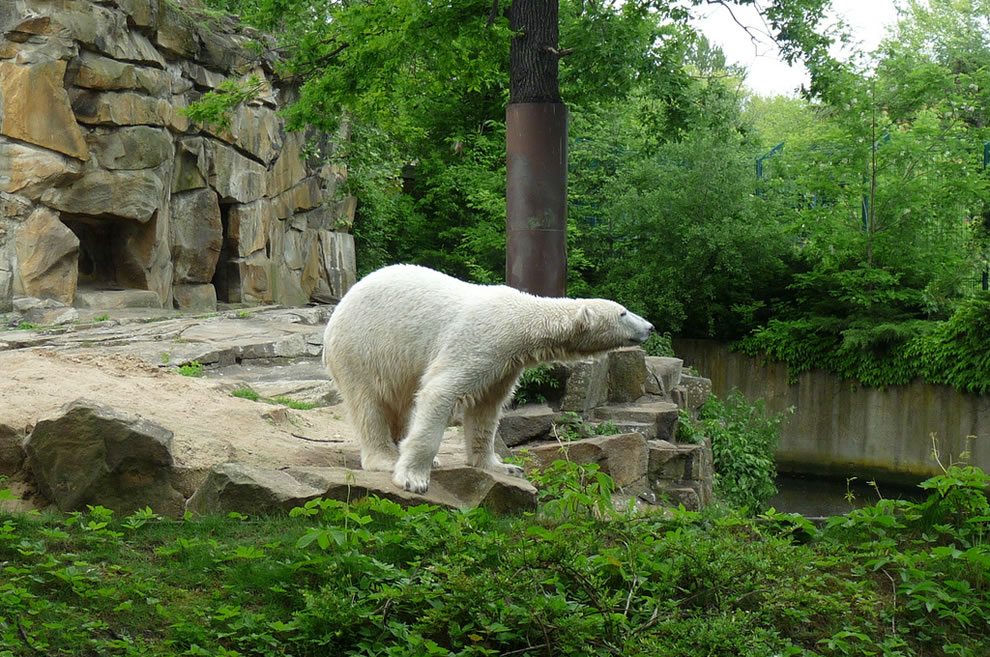 knut @berlin zoo in 2009