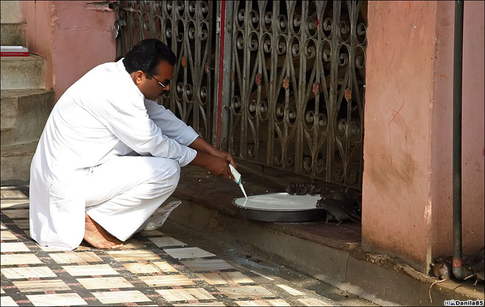 Feeding rats at rat temple