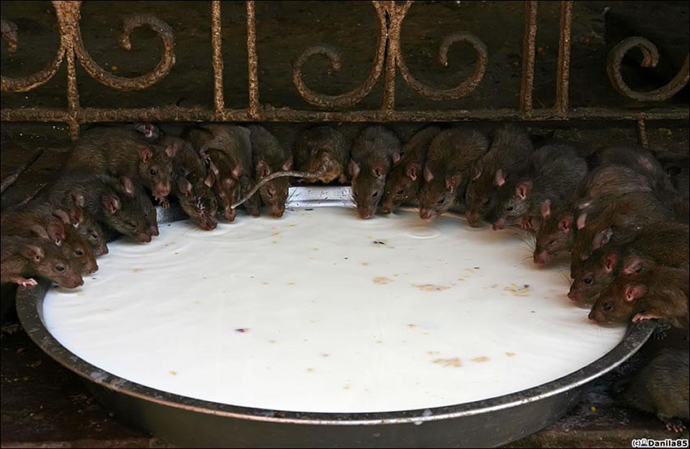 Karni Mata rats everywhere