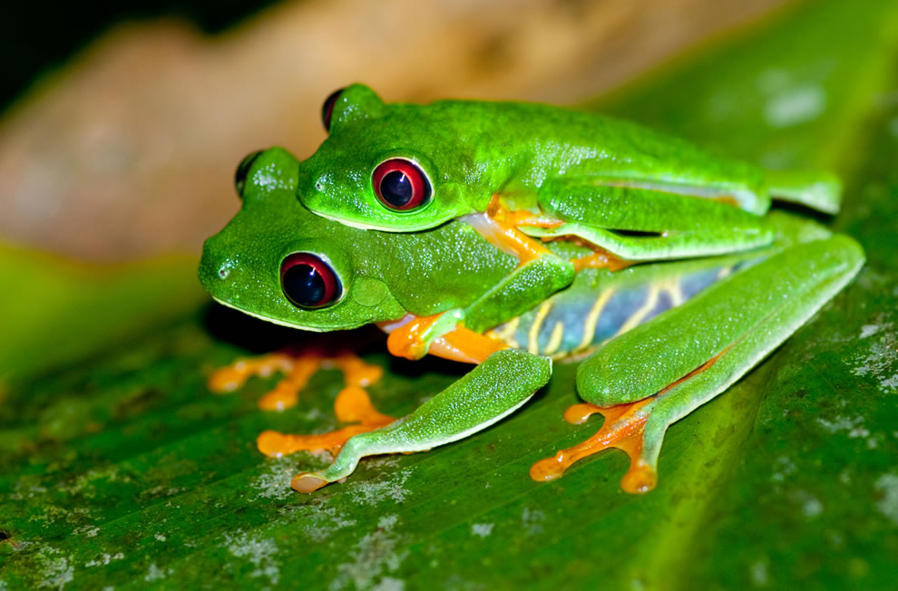 Red-eyed Tree Frog (Agalychnis callidryas) mating pair