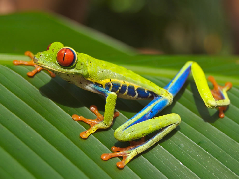 Red-eyed Tree Frog (Agalychnis callidryas), photographed near Playa Jaco in Costa Rica