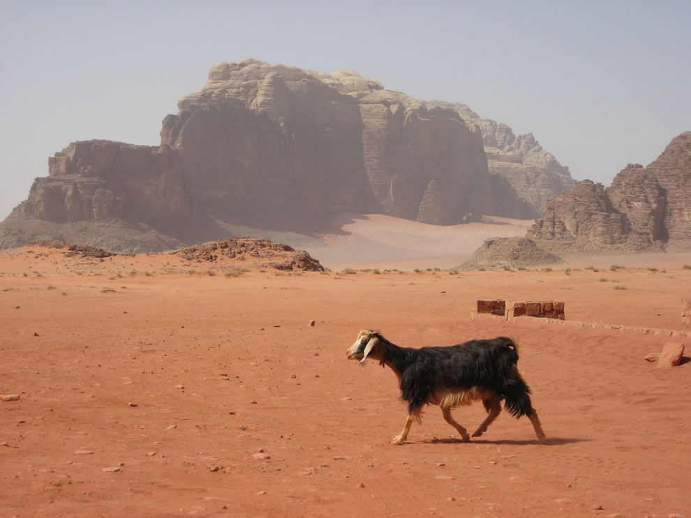 Wadi Rum Bedouin goat in the foreground, sandstone formations in the background
