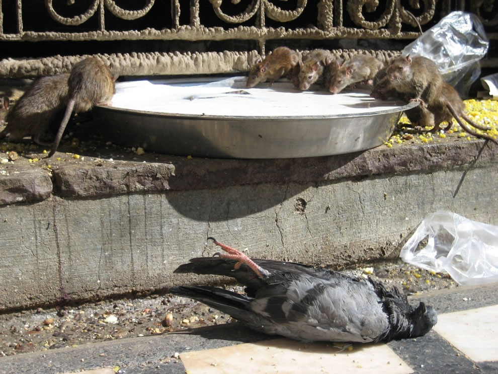 rat temple - Rats plus Pigeon equals sanitary