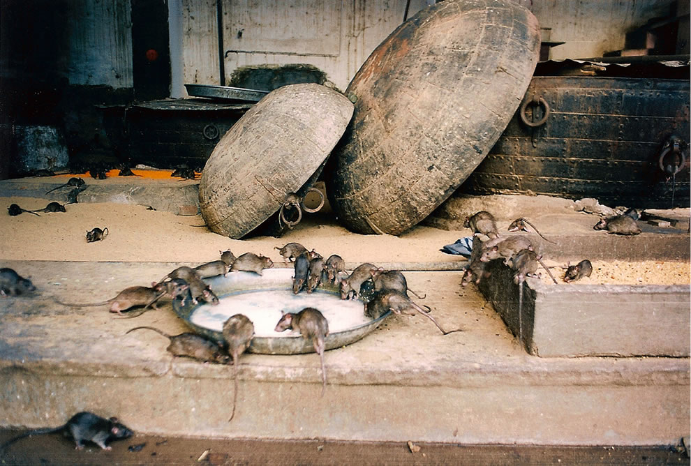 rat temple - Karni Mata