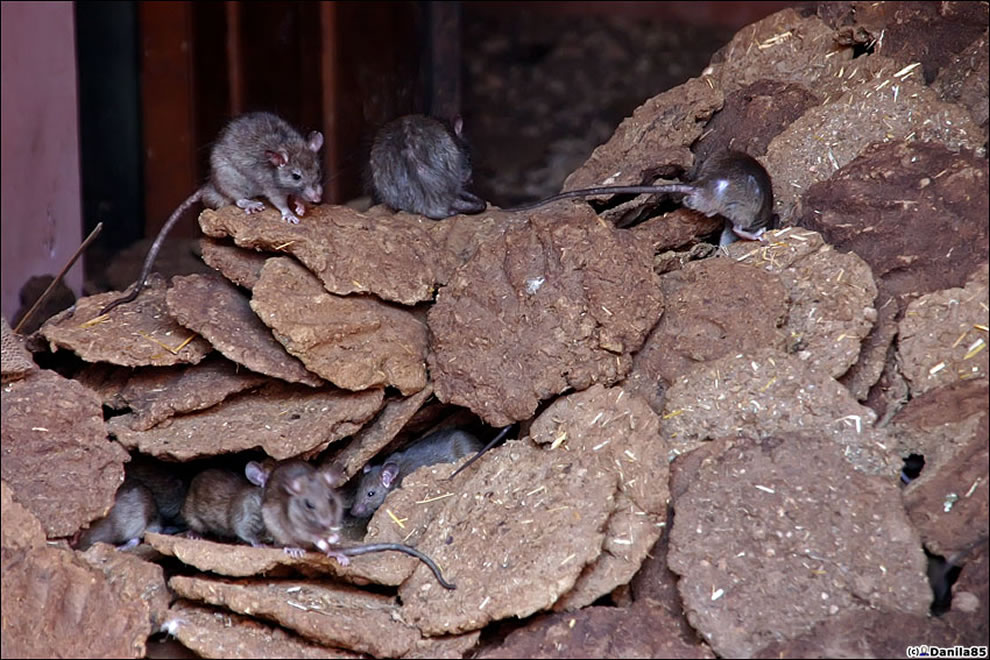 rat temple - rats in dung