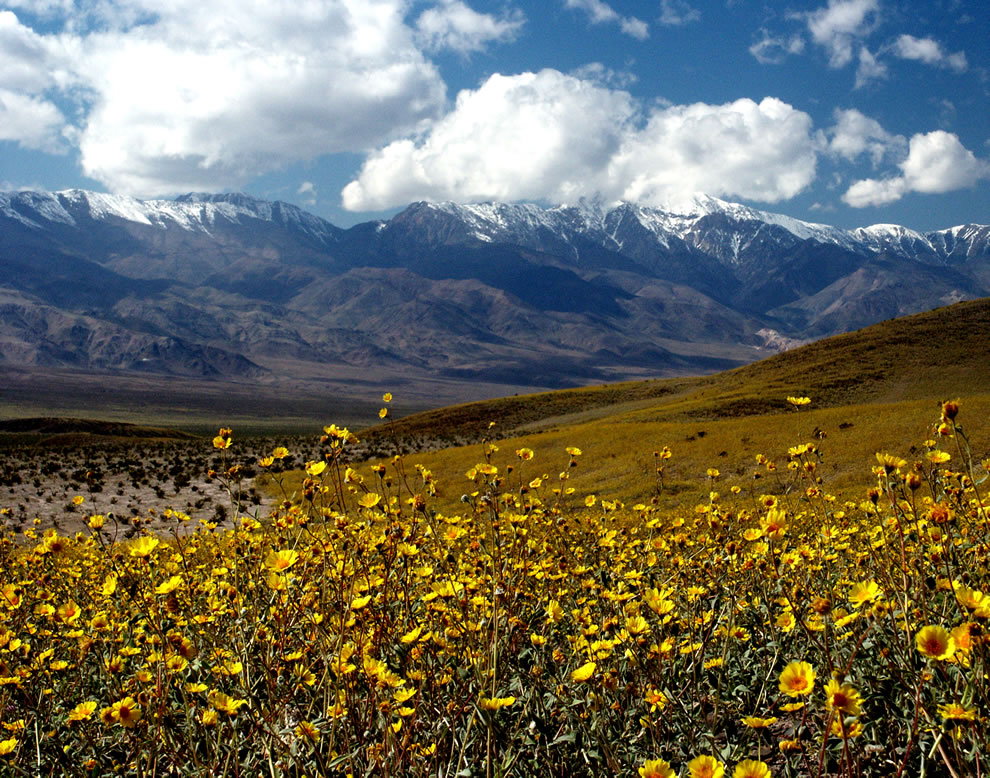 Death Valley in bloom with wildflowers after an extremely wet year