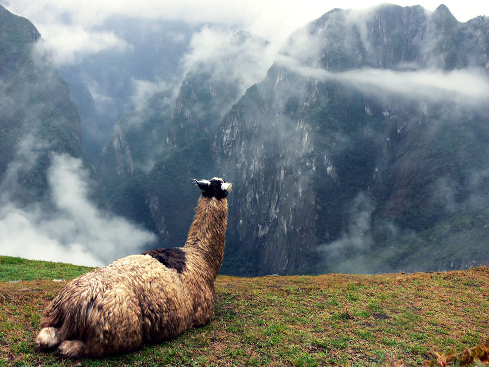 A llama sits atop one of the terraces of Machu Picchu, Peru, admiring the view
