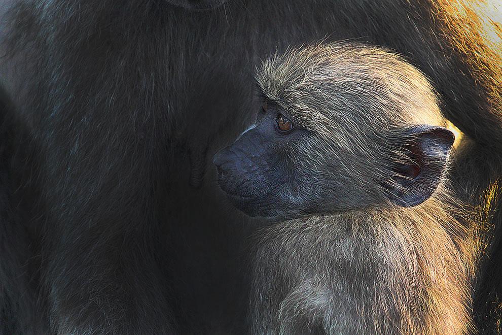 Baby baboon Africa Safari