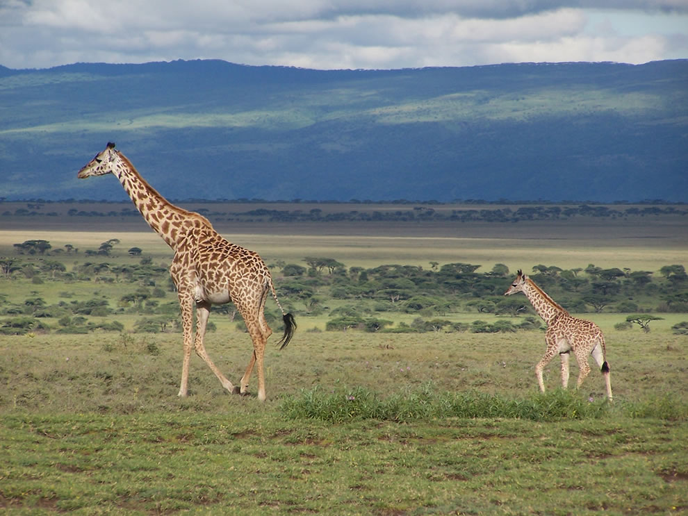 Giraffes in Serengeti National Park