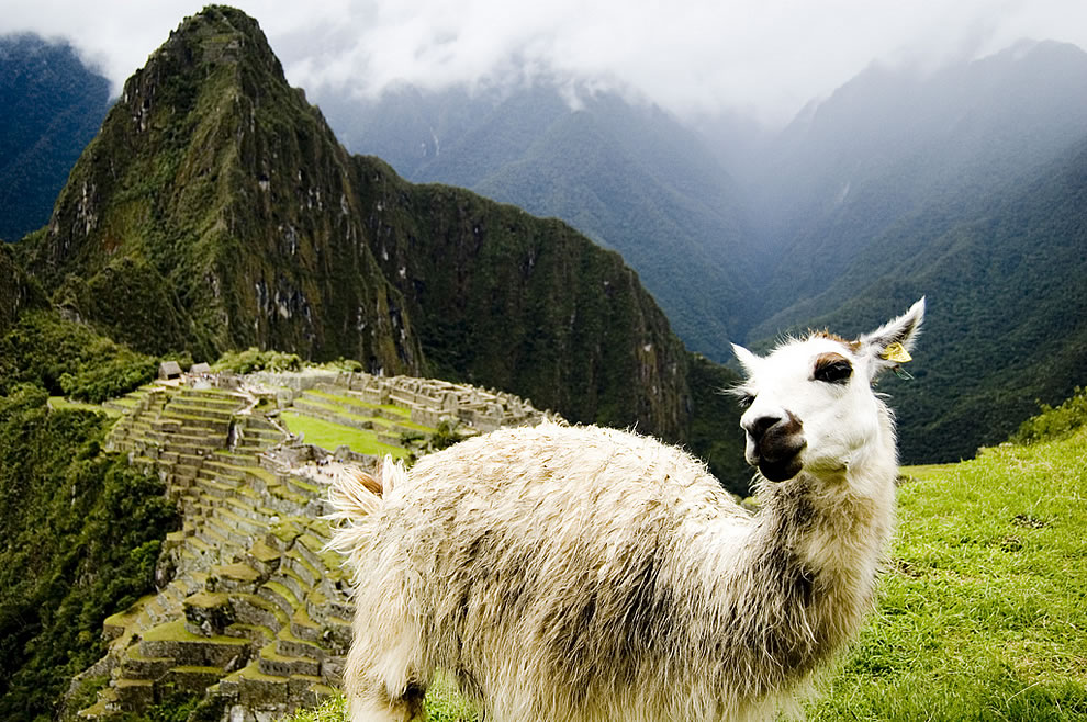 Lama poses at Machu Picchu