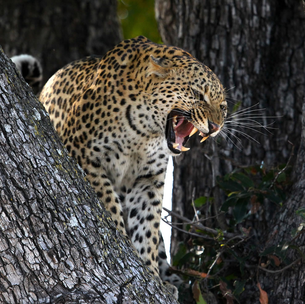 On Safari - Leopard in Heat