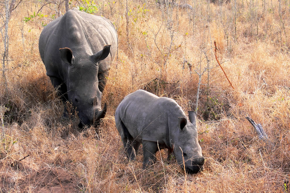 Rhino with baby - Kruger National Park, South Africa