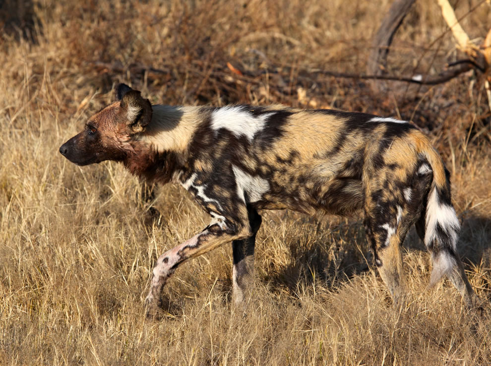 'The Last of the Mohicans' - Painted Wolf (or African Wild Dog) is Africa's most endangered carnivore
