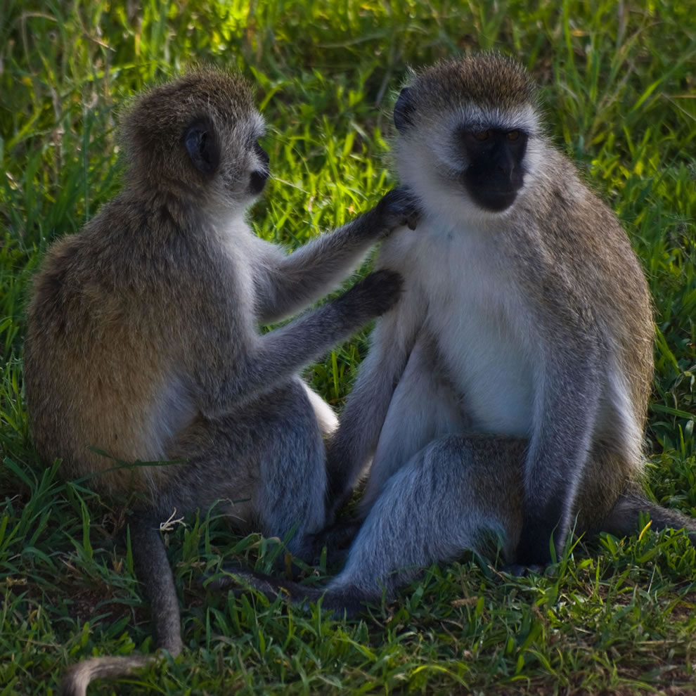 Two vervet monkeys preening each other's fur in the Serengeti National Park, Tanzania