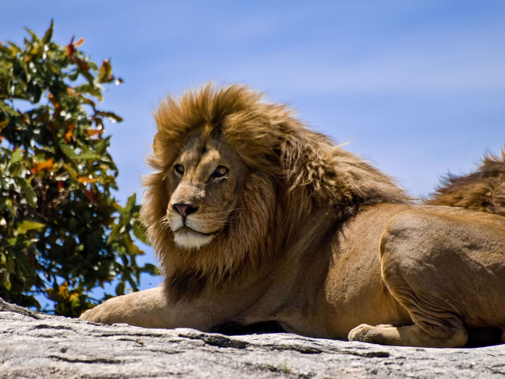 male lion on a rock in the Serengeti National Park, Tanzania