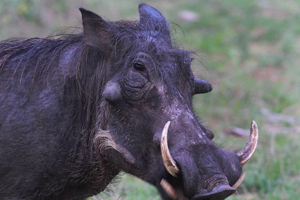 warthog Africa Safari
