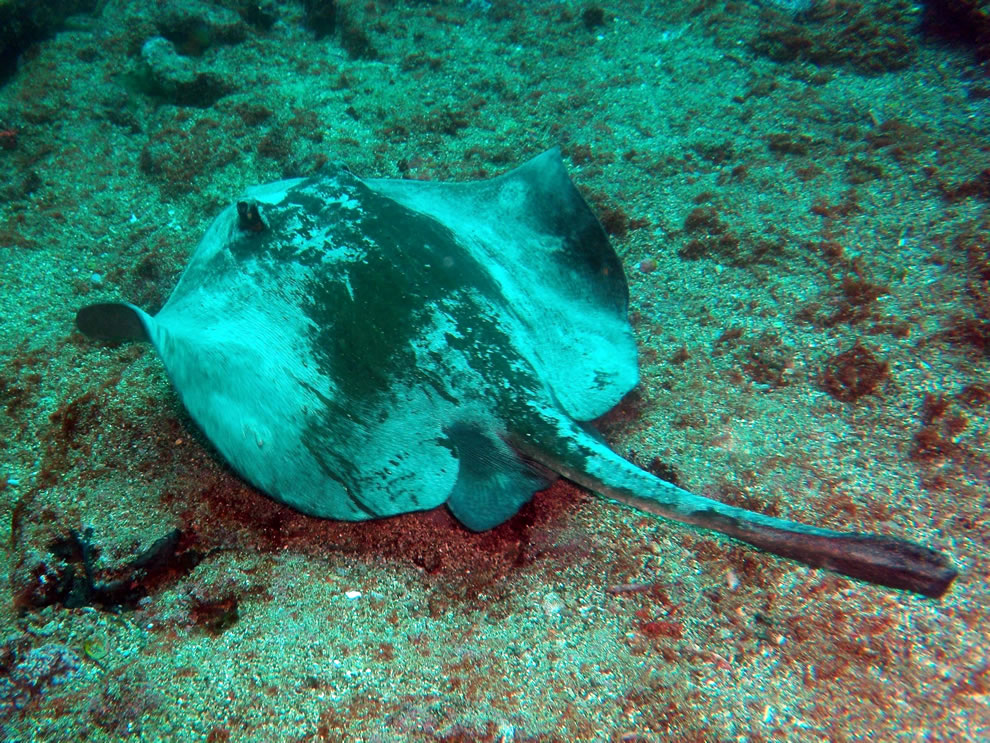 Diamond stingray (Dasyatis dipterura) in the Galapagos