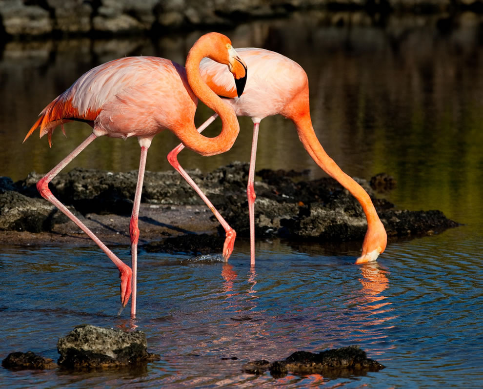 Galapagos flamingoes