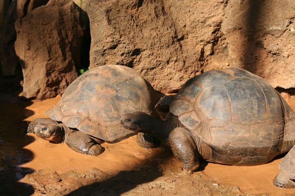 Giant Galapagos Tortoises