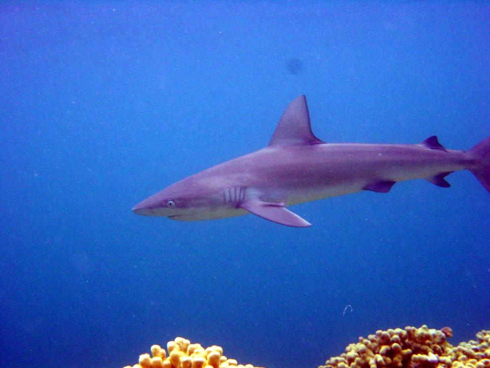 Mano, Galapagos Shark