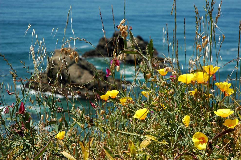 Yellow poppies, wildflowers on the California coast, north of Fort Bragg