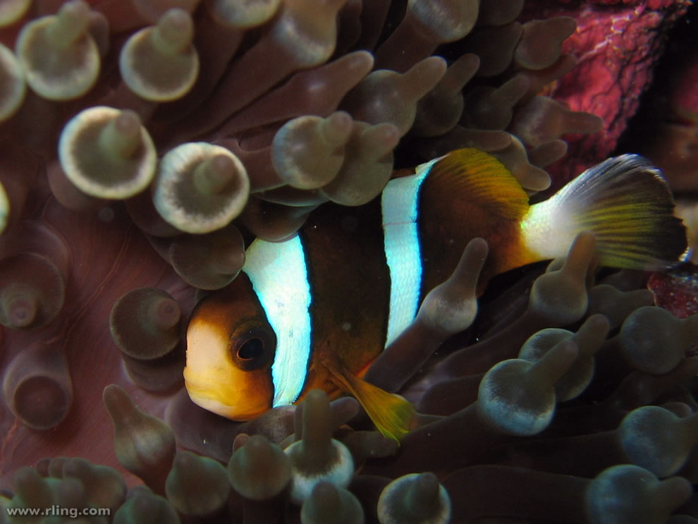 Een Barrier Reef Anemonefish in gastheer anemoon.  Pixie Tuin, lint Reefs, Great Barrier Reef