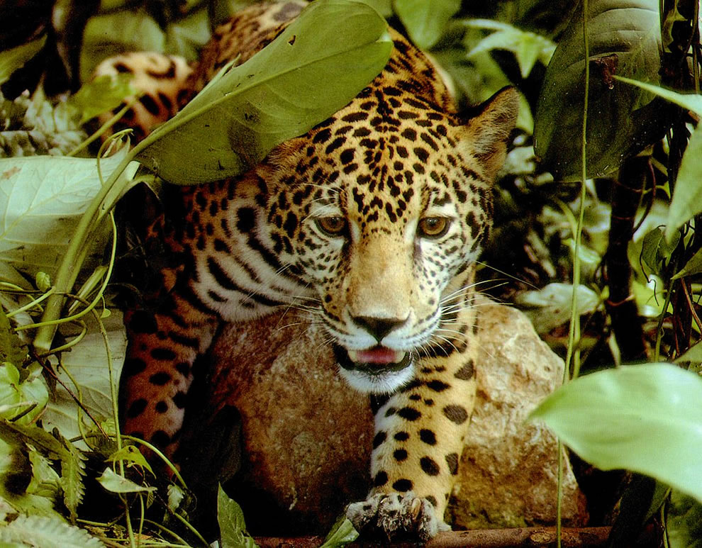 Amazon-rainforest-jaguar.jpg