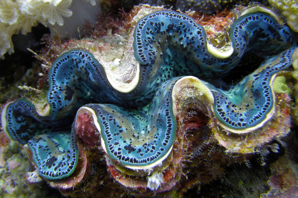 Blue Clam at Great Barrier Reef