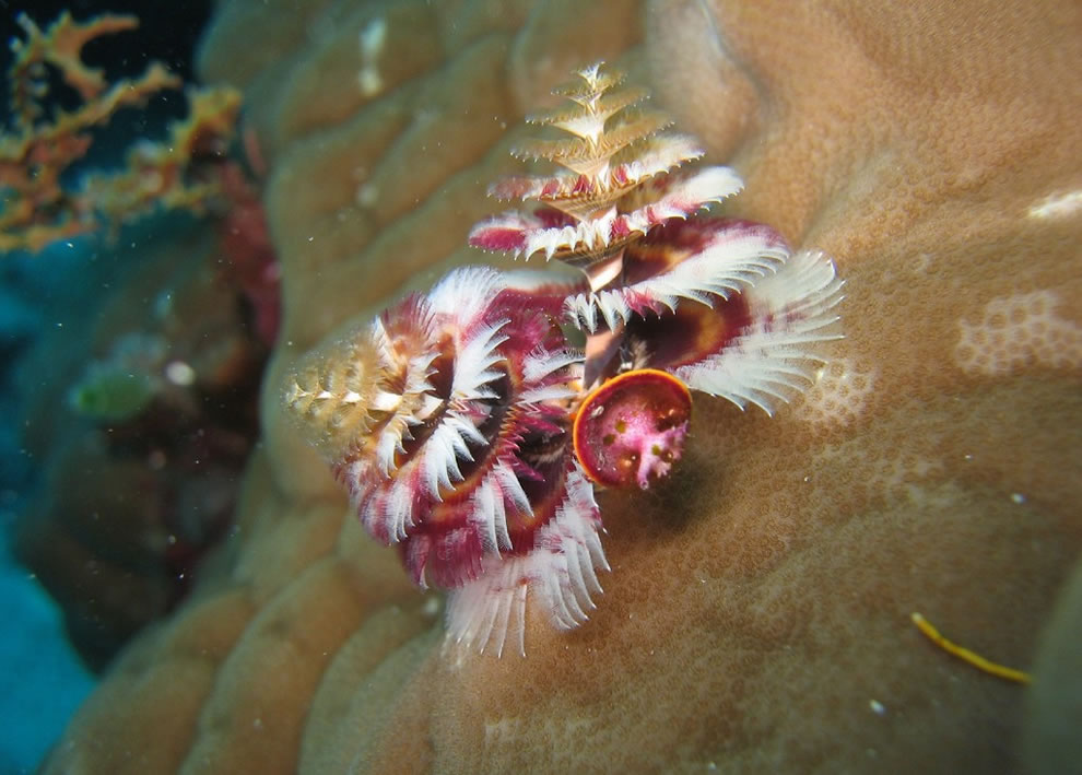 Christmas Tree Worm - Great Barrier Reef
