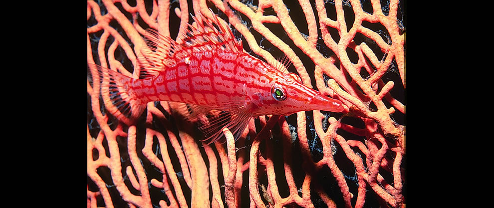 Hawkfish sitting on fan coral. Great Barrier Reef, Australia