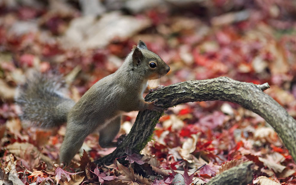 Japanese Squirrel in the fall leaves