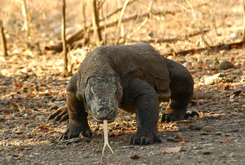 Komodo Dragon - Komodo, Indonesia grown up male Komodo Dragon, 3 meter long and about 120 kg in weight