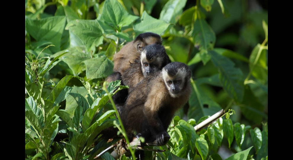 Monkeys hanging out in the Amazonian jungle