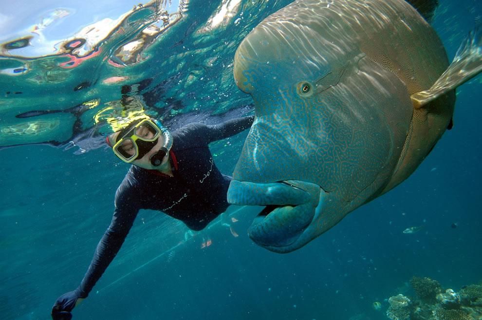 Snorkelling with a Humphead Wrasse, Great Barrier Reef
