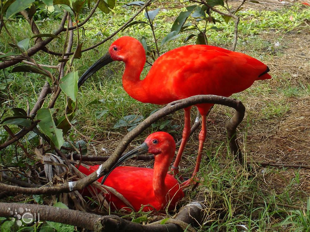 What is unusual about the scarlet ibis