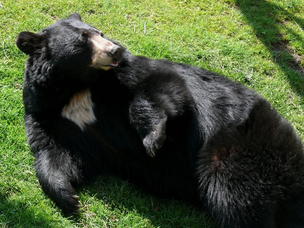An American Black Bear (Ursus americanus) at the Grandfather Mountain Animal Habitat