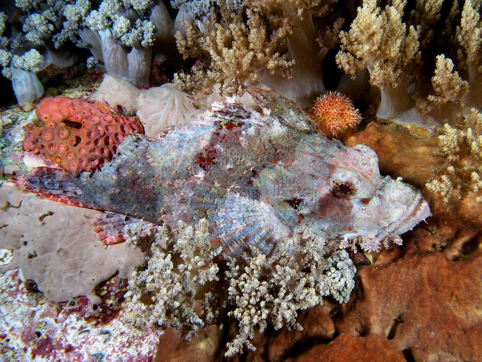 Camouflaged scorpionfish in Komodo National Park