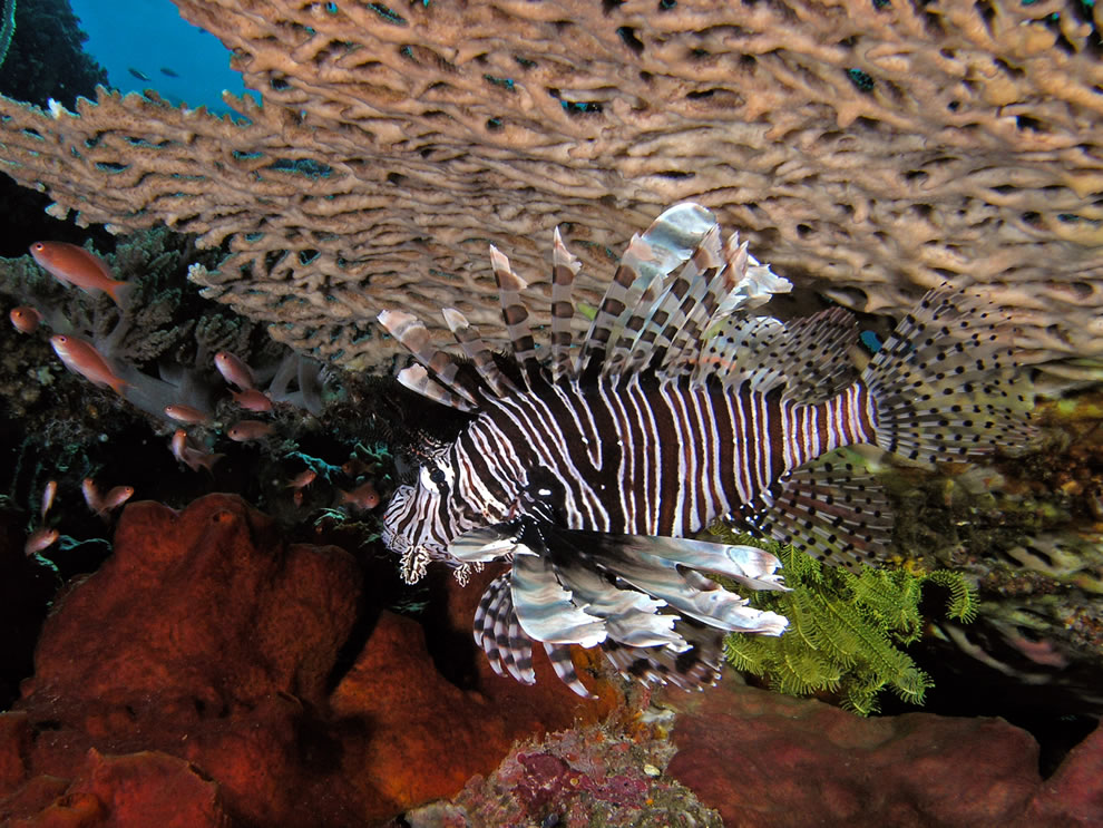 Lionfish seeking refuge under an acropora table coral