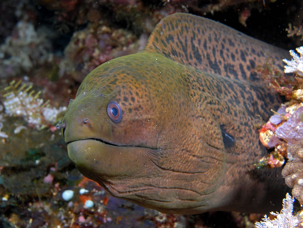 Moray eel in Komodo National Park