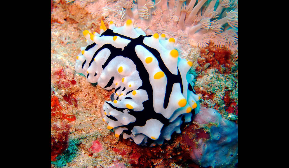 Nudibranch, Komodo national Park, Indonesia