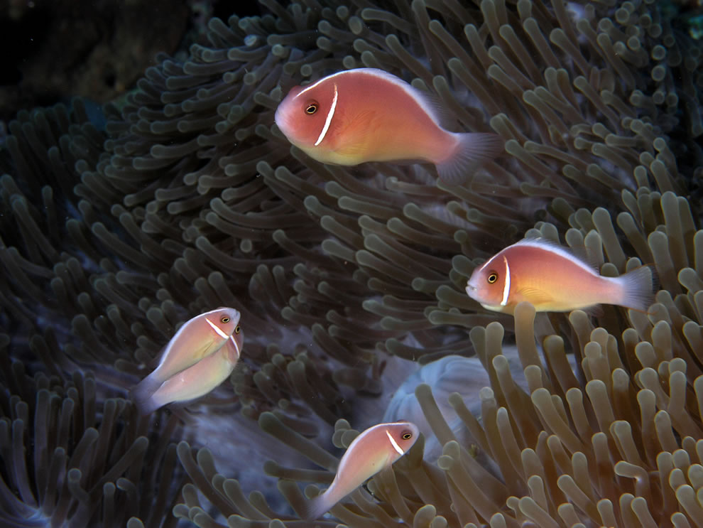 Pink skunk clownfish