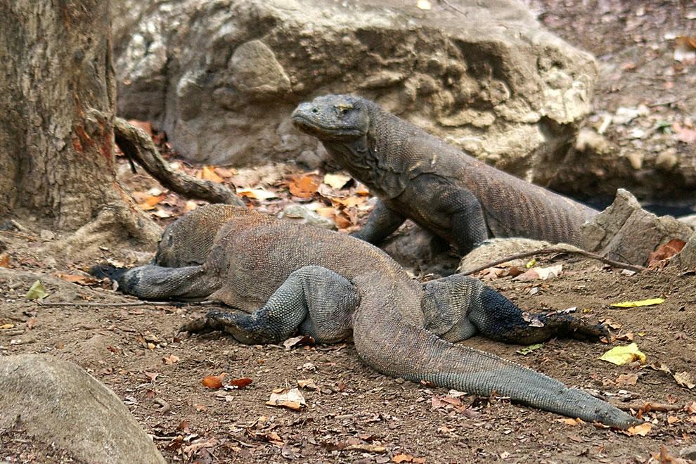 Rinca Komodo Dragons sunbathing