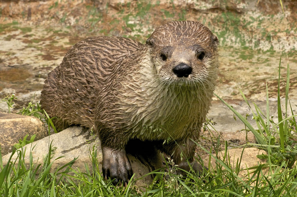 The otter side of cute - Grandfather Mt
